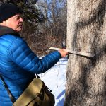 Ancient Oak Trees Examined